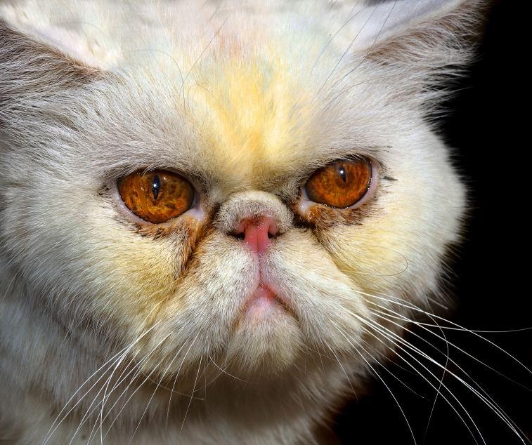 Himalayan Cats dans GATTI GATTI ED ANCORA GATTI persian-tear-overflow-large
