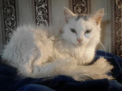 Pippa - A bit of Turkish Angora and Van in her. Note the vestigal van markings on the forehead. She's got Turkey in her..!