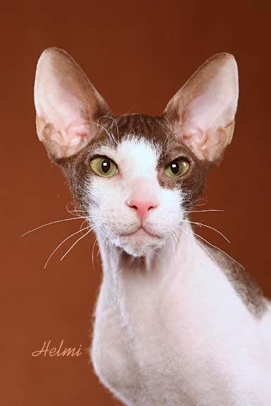 Peterbald cat - pictures of cats