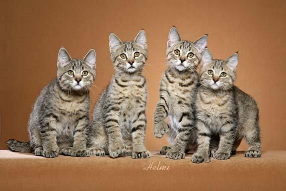 Pixie-bob cat