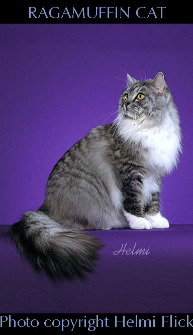 RagaMuffin cat photo by Helmi Flick