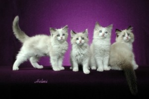 Ragdoll kittens cats