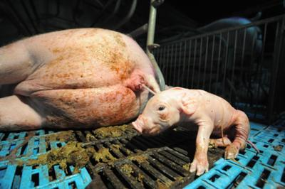 Canadian pigs, poor animal welfare with factory farming, from www.weanimals.org