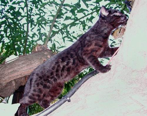 melanistic safari cat