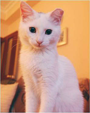 Beautiful SAKIZ - a Turkish Angora mix cat in Turkey. She is 5 months old at March 2010.