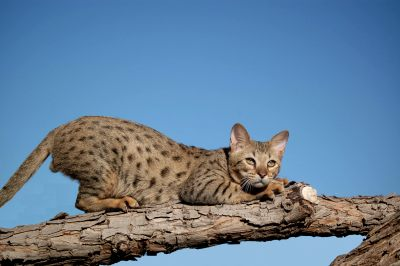savannah cat up a tree