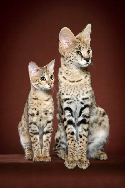 Savannah Cat F2