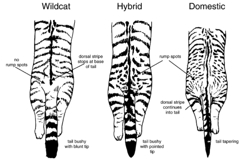 Difference between the Scottish wildcat and the domestic cat