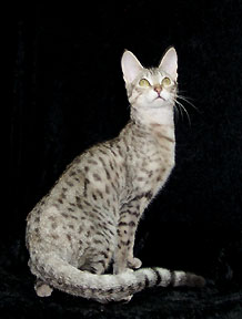 serengeti cat