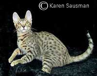 Serengeti cat - pictures of cats