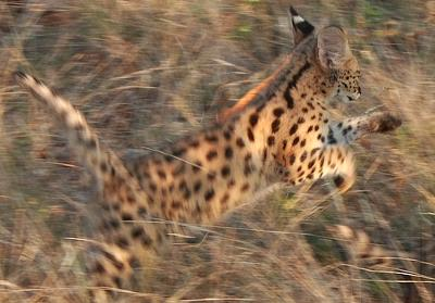 Serval Jumping
