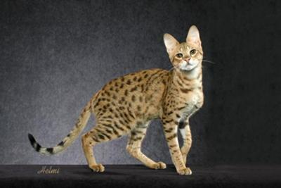 Savannah cat  (Serval/domestic cat cross) - photo copyright Helmi Flick - please respect copyright.