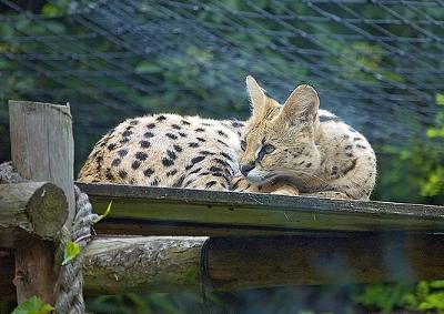 Serval in London Zoo - they are common in zoos. In the wild it's different. Photo by Kol Tregaskes (Flickr)