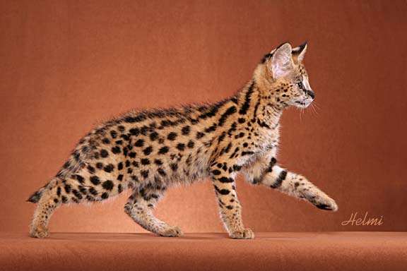Serval cat - pictures of cats