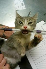 Cat with pen in mouth