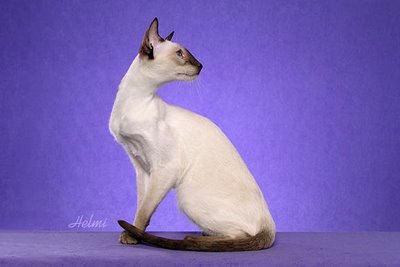 Modern Siamese Cat - photo copyright Helmi Flick - photo added by Michael of POC.