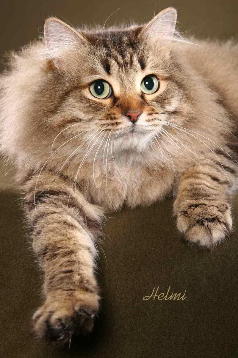 Siberian Big Cats