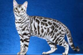silver spotted tabby bengal