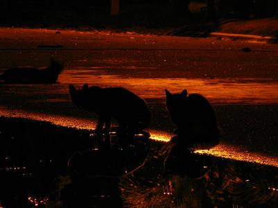 Night Cats - photo added by Michael  and by rex'd