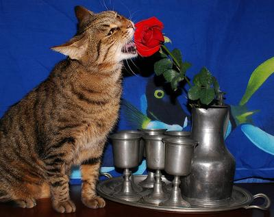 Cat liking the smell of a rose - photo by Rickydavid (Flickr)