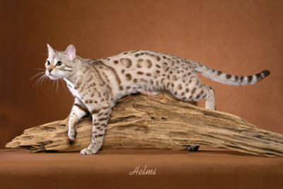 Snow Bengal Cat - photo copyright Helmi Flick