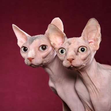Hairless Cat Breed Rescue