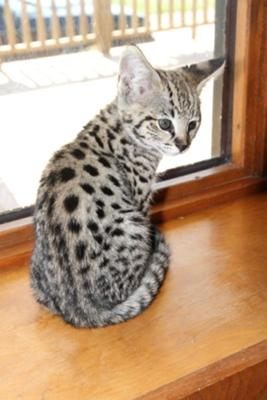 FOCUS - F1 Savannah Kitten - Photo copyright Michael
