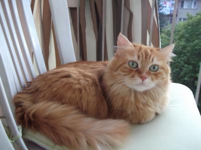 Tabby and Turkish Angora mix – my mum's cat TARCIN   PoC