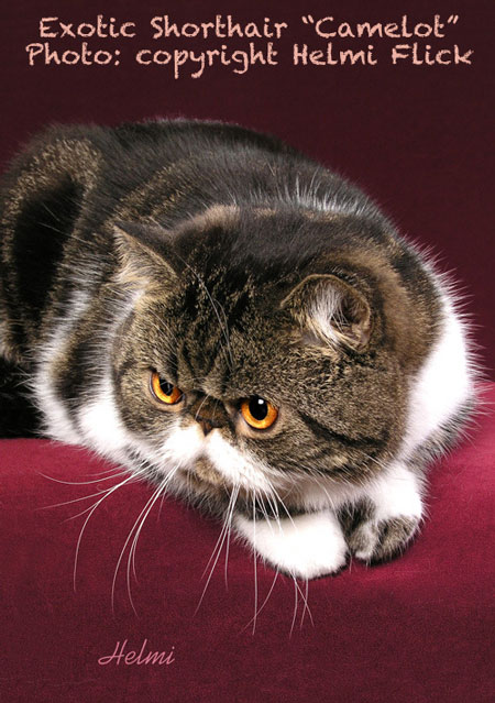 Tabby Exotic Shorthair Picture