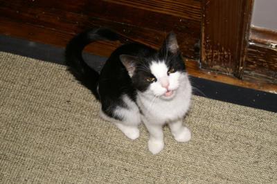 origin of maine coon cat