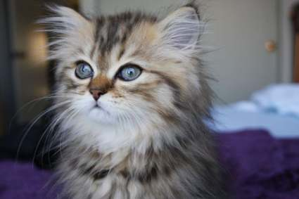 Full Grown Miniature Kittens Teacup cats are fascinatingly, Full ...