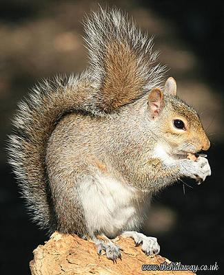 Grey Squirrel - photo by Simon (Flickr)