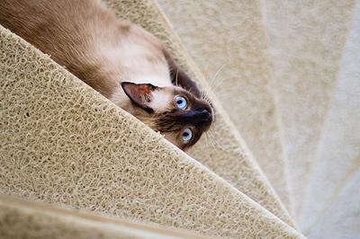 Traditional Siamese cat - photo by fofurasfelinas (Flickr) see base of page for link