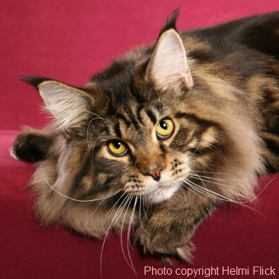 Classic Maine Coon Stare - photo copyright Helmi Flick