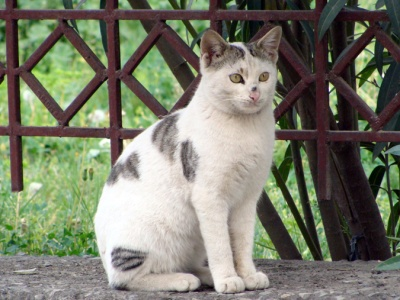 Cat in Pakistan. Tabby and White seem to be the most common of all feral cat coats. Photo by Monazza Talha