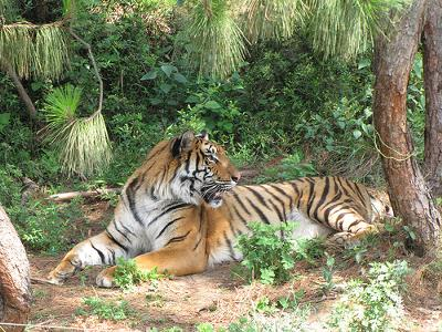 South China/Indonesia tiger hybred (cross breed) in captivity in Kunming Zoo - Photo by ltansey (Flickr)