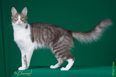 Turkish Angora - CFA GC Folie A Deux Bi & Large of Grimoire, AKA Beanie Baby