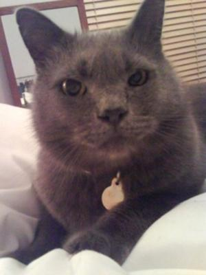 Thomson my Chartreux cat