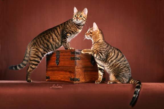 Toyger Cat Rescue