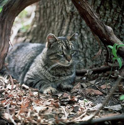Picture of a Feral Cat - Added by Michael (Admin) - Photo by Professor Batty