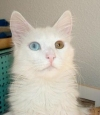 odd eyed Turkish Angora cat