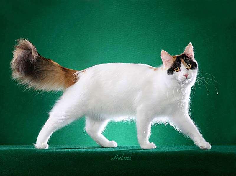 ... cat – photo ©copyright Helmi Flick | Return to the Turkish Van cat