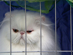 Ultra Persian at a cat show - added to this article by PoC Admin - no connection with the author of the article