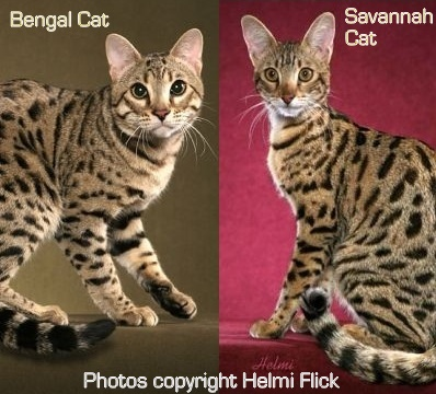 bengal and savannah cats