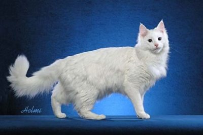 white cat Turkish Angora