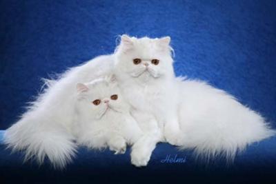 Buy persian cat ireland
