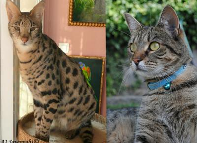 A designer cat with a beautiful coat, or a typical tabby with the most beautiful personality, and an inspiring story to match!