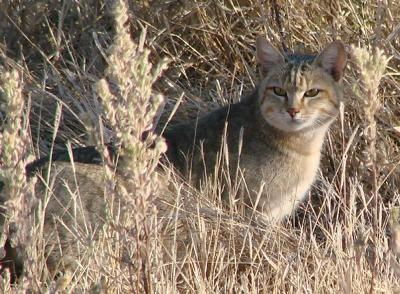 Wild cat mothered by a domestic cat | Pictures of Cats