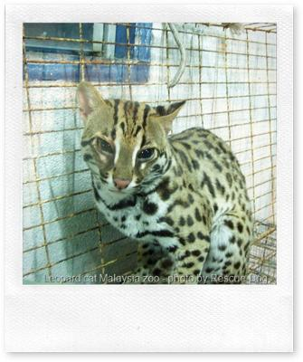 Asian Leopard Cat - looking deeply unhappy in a nasty cage in a Malaysian zoo. Why do we do this?