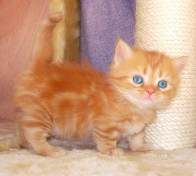 Sweet ginger tabby Munchkin kitten